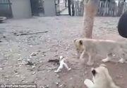 Un catelus a fost filmat alaturi de trei pui de leu intr-o cusca. Unul dintre ei se apropie de mancare. Ce s-a intamplat apoi e incredibil!