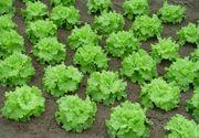 Mananci salata creata? Uite ce spun specialistii despre ea. Poate produce probleme cu tiroida sau probleme cardiace