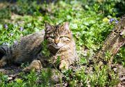Ministerul Mediului din Romania propune impuscarea a 1691 de animale salbatice. Sunt vizati 552 de ursi, 657 de lupi si 482 de pisici salbatice