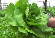 """Salata """"prea verde"""" poate fi daunatoare! Studiile au dezvaluit ca salata cultivata in judetele Iasi si Vaslui ar putea fi toxica din cauza cantitatilor mari de nitriti si nitrati"""