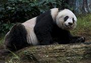 Cel mai batran ursulet panda aflat in captivitate a murit la varsta de 38 de ani