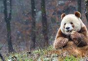 Singurul urs panda de culoare maro din lume isi cauta partenera. Cercetătorii consideră că nuanţa neobişnuită a blănii ursului este datorată unor mutaţii genetice