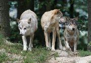 O femeie s-a vindecat de stres post-traumatic cu ajutorul unei haite de lupi!