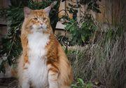 Cum arata cea mai lunga pisica din lume? Are 120 de centimetri si cantareste 14 kilograme