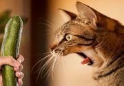 De ce se sperie pisicile de castraveti? Cercetatorii au oferit raspunsul!