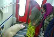 Imagini incredibile surprinse intr-un tren din Romania! Doua femei au urcat in vagon cu porcul!