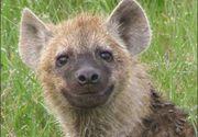 Dictionarul de vise: ce inseamna cand visezi hiene?