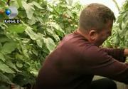 Incredibil! Un fermier buzoian produce tomate, ardei si vinete la fel de gustoase si de aratoase ca cele de pe vremea bunicilor