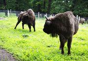 Aşa arată raiul animalelor de la Vânători - Neamţ! Întinsă pe 300 de kilometri pătraţi, rezervaţia Dragoş Vodă adăposteşte zeci de zimbri, urşi, căprioare şi cerbi VIDEO