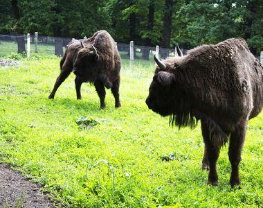 Aşa arată raiul animalelor de la Vânători - Neamţ! Întinsă pe 300 de kilometri pătraţi,...