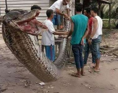 Un piton urias a fost ucis si apoi mancat in Indonezia, dupa ce acesta atacase o persoana