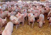 Porci infestați cu pestă, vânduți de fermierii buzoieni! Câți bani cereau pe kilogram