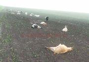 Zeci de animale, gasite moarte! Este infiorator ce s-a intamplat pe un camp din judetul Dolj