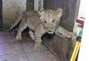 Puiul de leu Paco a fost transferat de la Grădina Zoologică din Timişoara la cea din Târgu Mureş