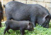 Gurmanzii care poftesc la carne de porc, dar se gândesc și la sănătate, optează pentru godacii vietnamezi. Cât costa această carne