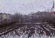 Invazie de grauri în Constanța! Imaigini apocaliptice, desprinse din filmele lui Hitchcock!