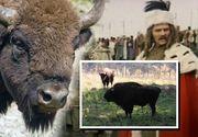 Un zimbru din rezervaţia Vânători-Neamţ a murit din cauza suprasolicitării la filmările unei pelicule celebre, în care au jucat Gheorghe Cozorici, Gheorghe Dinică şi Florin Piersic