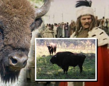 Un zimbru din rezervaţia Vânători-Neamţ a murit din cauza suprasolicitării la filmările...
