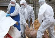Nou focar de pestă porcină descoperit în România! Zeci de porci au fost deja sacrificați