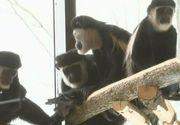 Maimuțele au casa lor, la Brașov! Grădina Zoologică a venit cu surprize mari pentru vizitatori