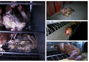 IMAGINI ȘOCANTE! Aveți grijă ce fel de ouă cumpărați de la magazin! E teribil în ce condiții sunt crescute păsările în România!
