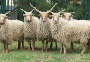 Un fermier din Timis a ajuns renumit dupa ce a inceput sa creasca oi cu coarne de tirbuson!