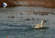 O colonie de lebede si-a petrecut iarna pe un lac din Vrancea