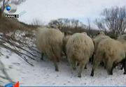 România a reluat exporturile de ovine în Orientul Mijlociu