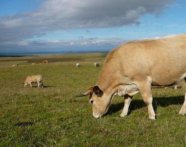 Vacile Aubrac, noua senzatie in randul crescatorilor romani de animale! Au dat vacile...