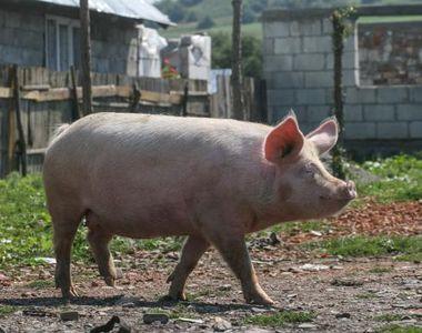 Crești porci în gospodărie? Ministrul Daea a făcut anunțul care te afectează direct!...