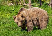 O comuna din Bistrita-Nasaud este asediata de o saptamana de ursi. Ce se intampla acolo in fiecare zi