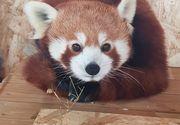 Fă cunoștință cu Peggy, o femelă de panda roșu extrem de simpatică! Ești curios să o vezi? Uite la ce Zoo din țară a ajuns!