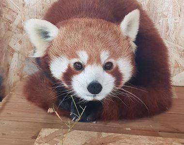 Fă cunoștință cu Peggy, o femelă de panda roșu extrem de simpatică! Ești curios să o...
