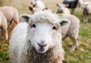 VIDEO| E criza pe piata oierilor din România! Vietnamezii, soluția ideală pentru ciobani!
