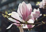 VIDEO | Florile ofera un spectacol parfumat la Oradea in aceasta perioada. Magnoliile au inflorit si creeaza un peisaj feeric.