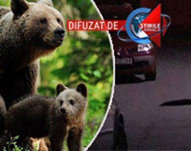 VIDEO| PANICA la Rasnov! Un urs a coborat dupa mancare si a pus in pericol vietile...