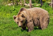 VIDEO | Ursii au inceput sa faca ravagii in localitatile de munte! Devasteaza masini si ameninta viata locuitorilor!