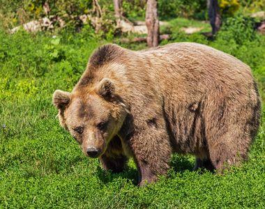 VIDEO | Ursii au inceput sa faca ravagii in localitatile de munte! Devasteaza masini si...