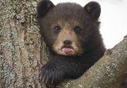 VIDEO. Pui de urs, eliberat din lat dupa un apel la 112