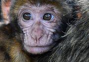 VIDEO | Traficul cu maimute in Romania. Ce risca proprietarii acestora
