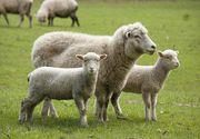 Ajutor de la Stat pentru crescătorii de ovine