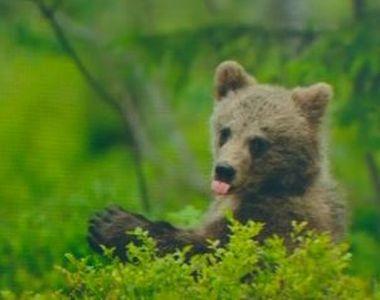 VIDEO   Pui de urs, salvat dintr-un canal. Soluția ingenioasă găsită de jandarmi