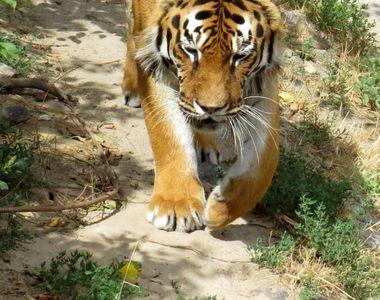 Italia: Patru tigri au ucis un îmblânzitor