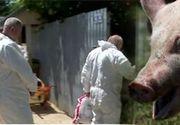 VIDEO   Problemele cauzate de pesta porcina revin in atentia autoritatilor si a gospodarilor
