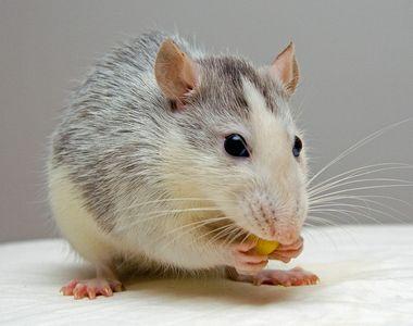 Ce servicii vă pune la dispoziție cea mai bune firmă deratizare șoareci din București?