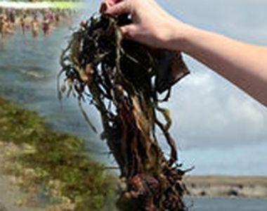 VIDEO   Litoralul românesc, sufocat de alge