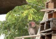 VIDEO   Telenovela maimuței din Capitală continuă. Stăpânul animalului, de negăsit