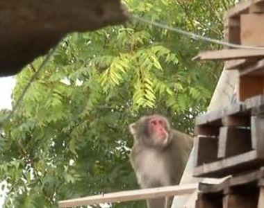 VIDEO | Telenovela maimuței din Capitală continuă. Stăpânul animalului, de negăsit