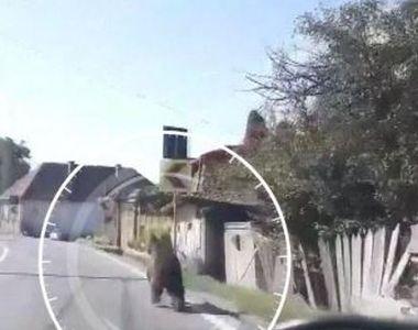 VIDEO   Imagini incredibile din Covasna. Un urs aleargă panicat pe o stradă