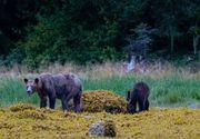 Urșii sunt în pericol în Canada din cauza reducerii populaţiei de somoni